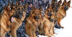 German Shepherds at Krasnoyarsk