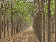 http://www.treeplantation.com/plantation-paulownia.jpg