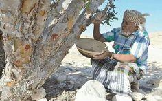 Frankincense Harvest -Oman
