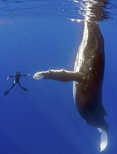 Why we love Whale Wars --- This is the outcome of an amazing rescue of a whale tangled in fishing nets and lines. This whale was dying when they found him and several divers worked tirelessly to free him. Once freed the whale came back around to each diver and this is one of the pictures captured during that moment. So cool! High five bro!