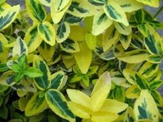 Euonymus fortunei Emerald & Gold Evergreen Euonymus are well behaved useful plants which give bright splashes of colour when its is most needed, i. Evergreen Hedge, Yard Landscaping, Hedges, Color Splash, Outdoor Spaces, Plant Leaves, Home And Garden, Landscape, Flowers