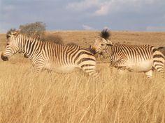 Zebra- Rhino & Lion Park, Gauteng, South Africa