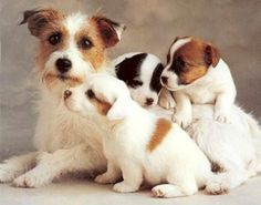 Mum and her 3 Jack Russell Puppies