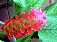 Curcuma roscoeana