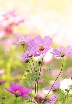 Cosmos / 秋桜 | See where this picture was taken. [?] | Yoichi_ | Flickr