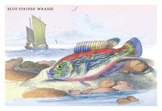 Blue Striped Wrasse 24x36 Giclee