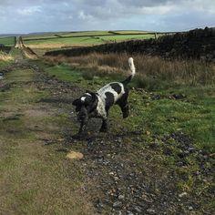 Big walks in the wind!! #cockerspaniel