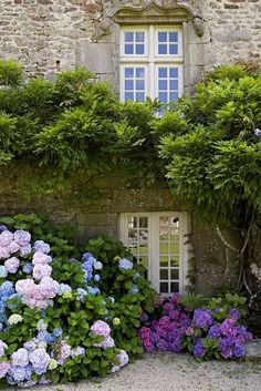 The blooming hydrangea, the crusty stone house, and the beautiful style of the window above all combine to make an appealing view.