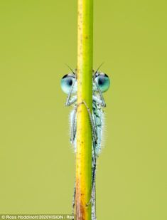 I never was very good at hide 'n' seek: A blue-tailed damselfly in Cornwall