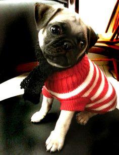 Precious Pug Pup