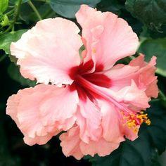 Hamlin's Sport hibiscus