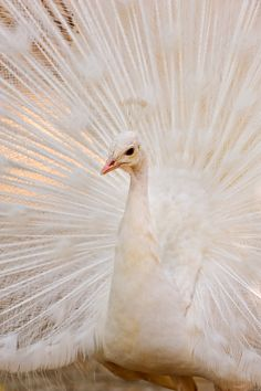 All sizes | Albino peacock | Flickr - Photo Sharing!