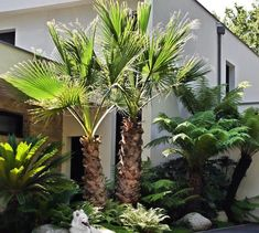 Cordyline indivisa Mountain Cabbage Tree-exotiques graines!