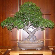 Types of Bonsai Trees   Different Types Of Bonsai Trees