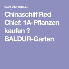 Chinaschilf Red Chief: 1A-Pflanzen kaufen  BALDUR-Garten