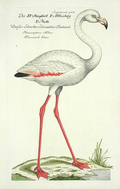 I love the adaptation of the shape. The idea that the person who drew this may never have seen a flamingo seems bizarre but also very possible! Frisch Antique Bird Print1733