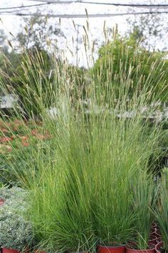 Ornamental Grasses Zone 7 Monrovias icee blue yellow wood details and information learn an ornamental grass forming mounds of finely textured deep green foliage abundant tall and wiry flower plumes in spring and summer usda zones 7 10 workwithnaturefo