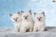 442 Best Ragdoll Cat Images Cat Love Cat Lovers Kittens