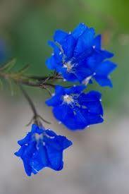 lechenaultia biloba - Google Search Perennial Ground Cover, Australian Native Flowers, Purple Garden, Perennials, Wild Flowers, Nativity, Beautiful Flowers, Exotic, Backyard