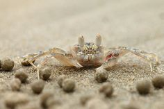 Small hermit and soldier crabs in Malaysia and Australia build their home digging a deep hope in the sand on a beach. They got a good idea of how to move sand up during his construction. Weird Sea Creatures, Crab Nebula, Sand Art, Science And Nature, Aerial View, Photo Art, Nature Photography, Crabs, Awesome