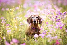 Wiener dog by TC Design & Photo on @creativemarket