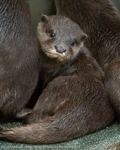 cute asian small clawed otter