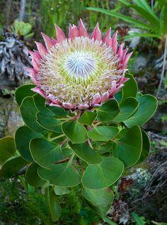 The king protea....beautiful!