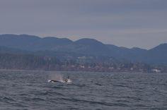 Watching orcas near Sooke.