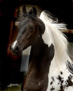 .Paints are one of my favorite horses... their markings are always so unique for each one.