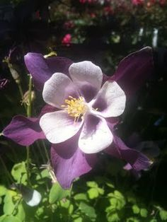 Columbines-- the Colorado state flower