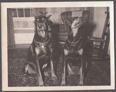 VINTAGE PHOTOGRAPH 1937-1950 2 BEAUTIFUL DOBERMAN PINSCHER DOGS OLD PHOTO