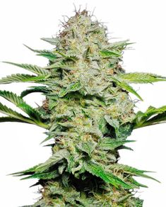 Buy cannabis seeds that grow in cool or cold climates. Cannabis seeds in this selection produce plants that perform very well in areas with short, cool summers. Cannabis Growing, Cannabis Oil, Seed Shop, Weed Strains, Seeds Online, Seeds For Sale, Weed Seeds, Medical Marijuana, Casual Styles