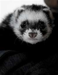 Falcor the ferret... handsome studly actor ferret!