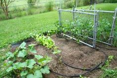 Reusing chain link gates to trellis tomatoes