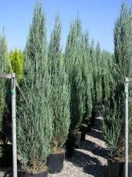 Image result for skyrocket cedar