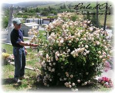Perle D'or bush