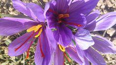 <p>El estigma rojo de la flor del azafrán es una de las especias más caras del mundo. / Consejo Regulador DOP Azafrán de La Mancha</p>
