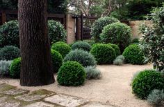 Lovely use of grey and green foliage/ buxus balls planted into granitic sand look sculptural