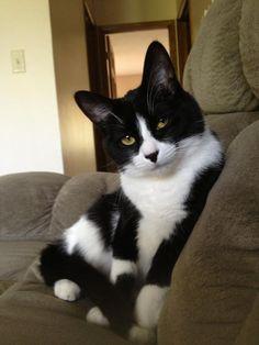 kitten, tuxedo cats, funny cats, pretti eye, bedroom eyes