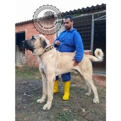 Anatolian shepard Source by yusufnkol Huge Dogs, Giant Dogs, All Breeds Of Dogs, Large Dog Breeds, Kangal Dog, Relaxed Dog, Bulldog Breeds, Dog Best Friend, War Dogs