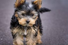 The Parti Yorkie is a variation of purebred Yorkshire terrier, with different coloring. Here are the differences between a parti yorkie vs yorkie vs biewer Yorkshire Terrier Dog, Biewer Yorkshire, Yorkies, Best Small Dogs, Yorkie Puppy For Sale, Yorkie Puppies, Pet Puppy, Toy Yorkie, Dog Training