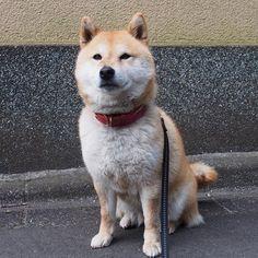 Pinを追加しました!/それではまた明日。おやすみなさい。 #shiba #dog #komugi #柴犬 #shibainu