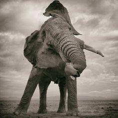 Wildlife Animals & Nature — .  Photo by @markjdrury Bull Elephant Amboseli...