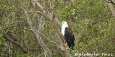 A fish eagle perched on a tree