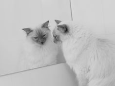 Our beautiful lilac point ragdoll, Zazu, contemplating his own image in the mirror.  Whilst it is not believed that cats are able to recognise themselves in a mirror he spends substantial time every day admiring himself.