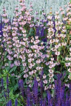 Phlomis Tuberosa, Jerusalem Sage, Drought resistant perennials, with salvia nemorosa