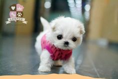 There are only a few things in this world that can melt people's hearts and one of them are these tiny puppies. Everyone loves puppies. Really Cute Puppies, I Love Dogs, Cute Dogs, Teacup Maltese, Teacup Puppies, Micro Teacup Dogs, Micro Maltese, Mini Malteser, Cute Baby Animals
