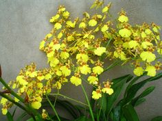Oncidium at Cambridge University Botanical Garden
