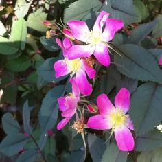 Rosa Glauca: look at those leaves!