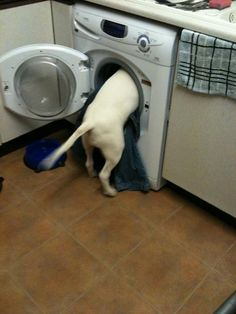 Bull terrier doing the yaundry.
